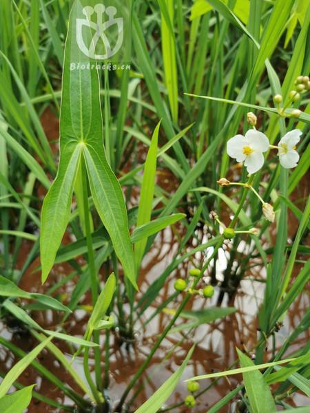 Acacia divaricata