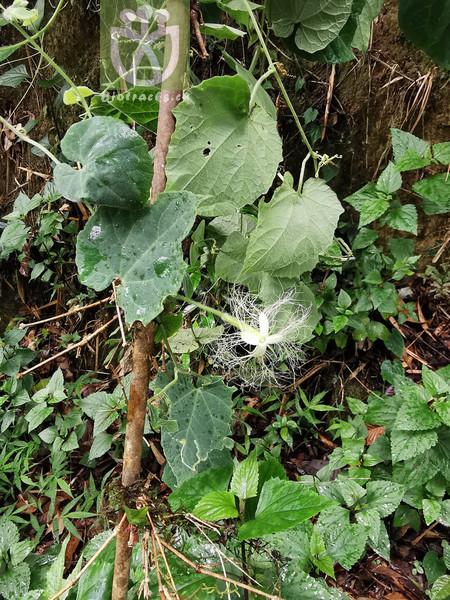 Trichosanthes sp.