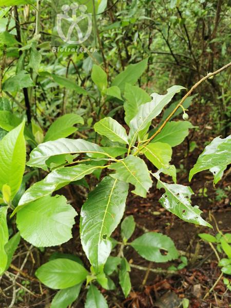 Elaeocarpus sikkimensis