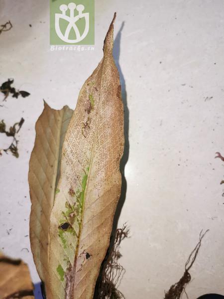 Pleopeltis irioides