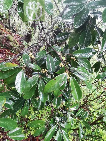 Quercus delavayi