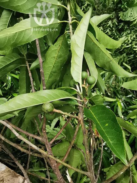 Elaeocarpus angustifolius