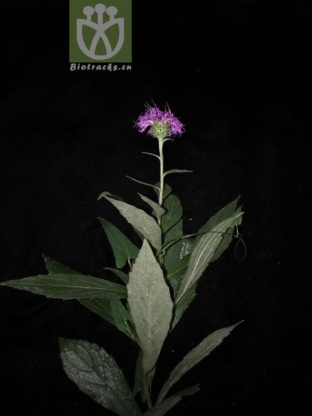 Cirsium vlassovianum