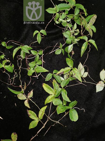 Dioscorea sp.
