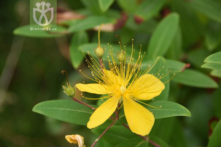 Hypericum chinense subsp. salicifolium