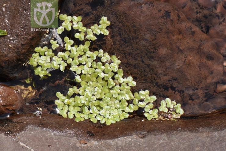 Lemna minor var. orbiculata