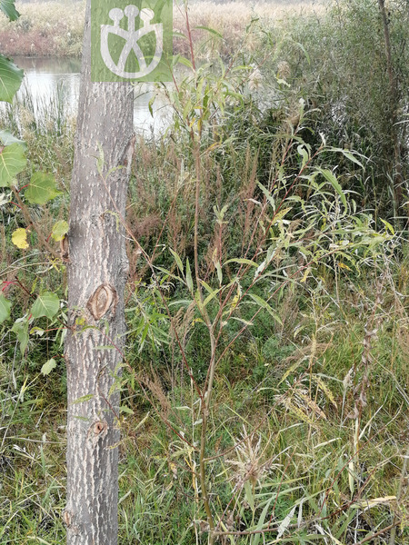 Salix mongolica