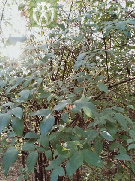 Lonicera fragrantissima subsp. phyllocarpa