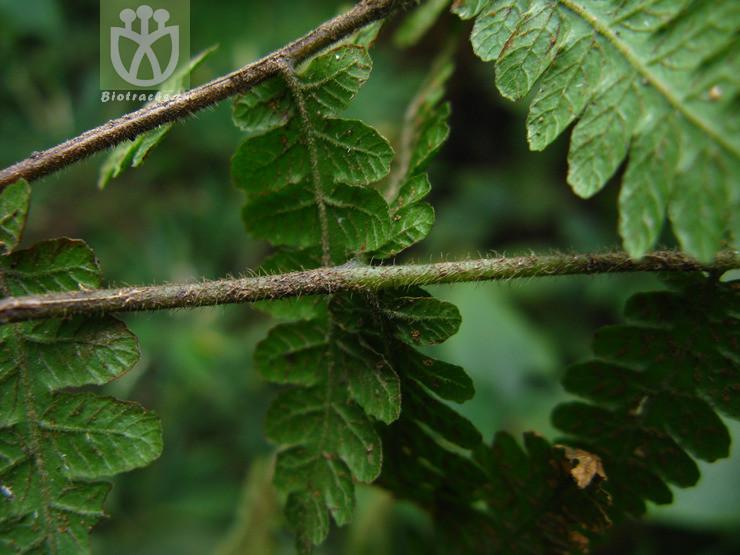 Leptogramma jinfoshanensis