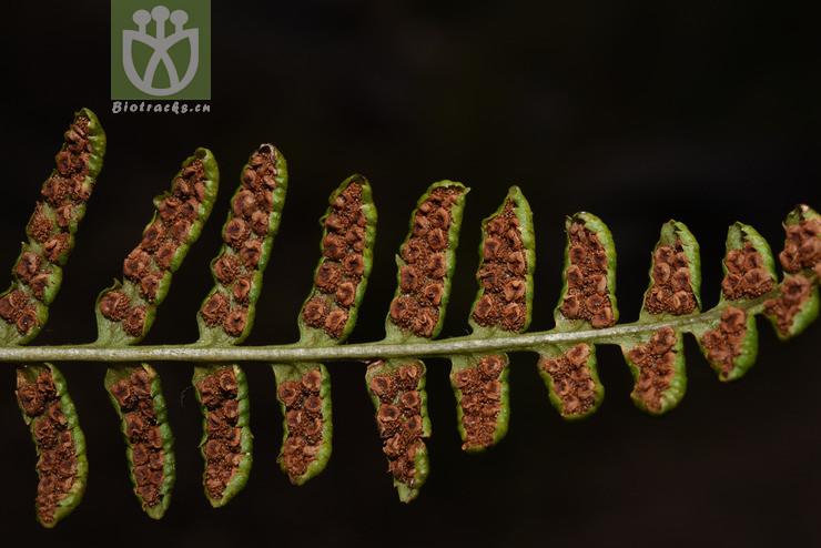 Dryopteris cochleata