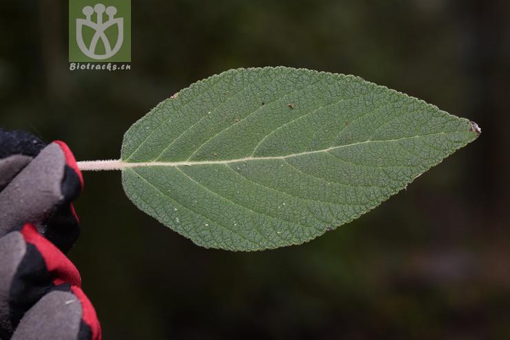 Colquhounia coccinea var. mollis