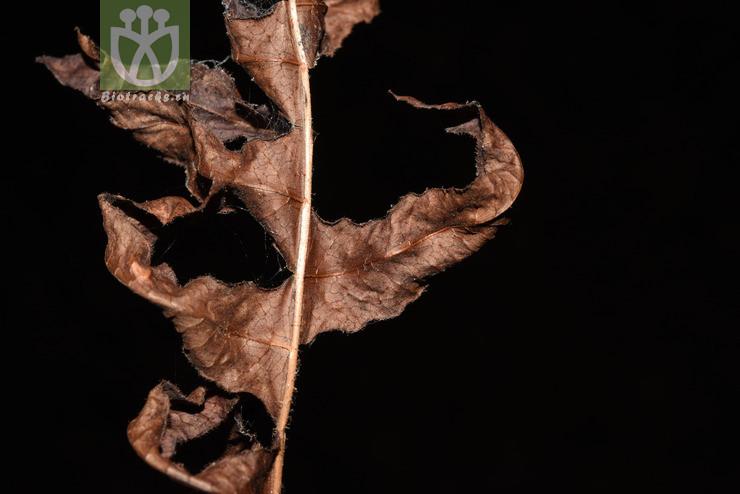 Drynaria costulisora