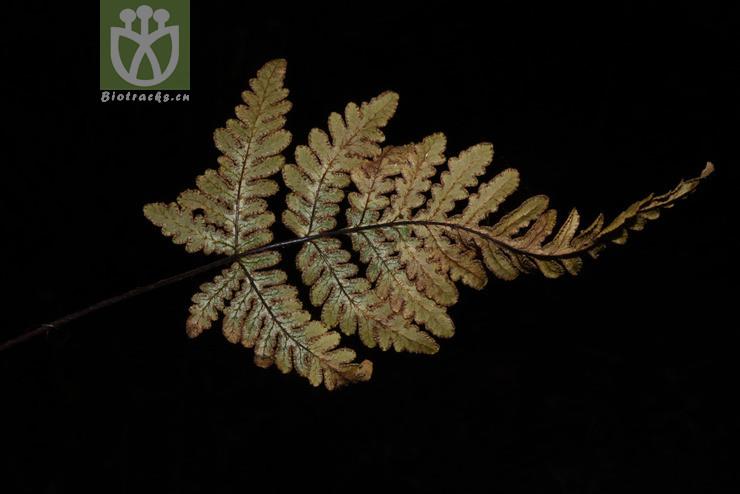 Aleuritopteris albomarginata