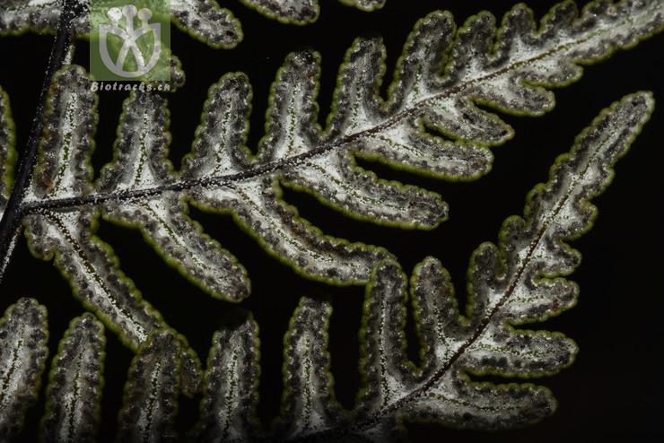 Aleuritopteris anceps