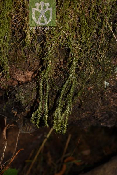 Phlegmariurus pulcherrimus