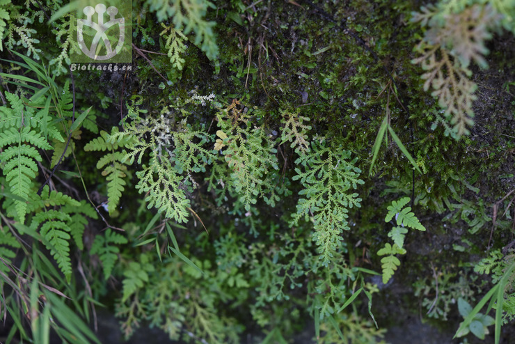 Selaginella reticulata