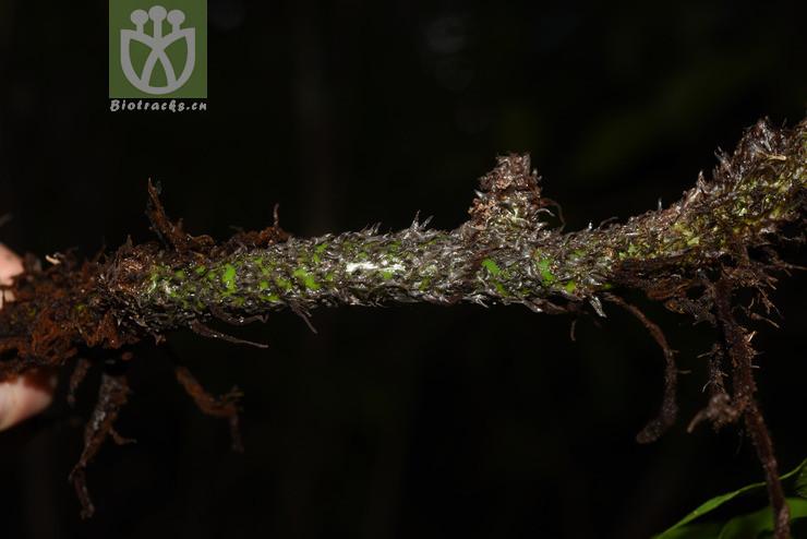 Phymatosorus longissimus