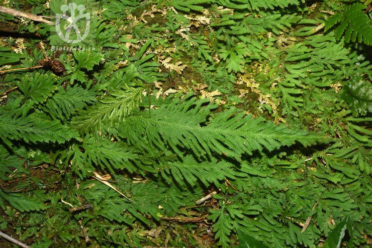 Selaginella biformis
