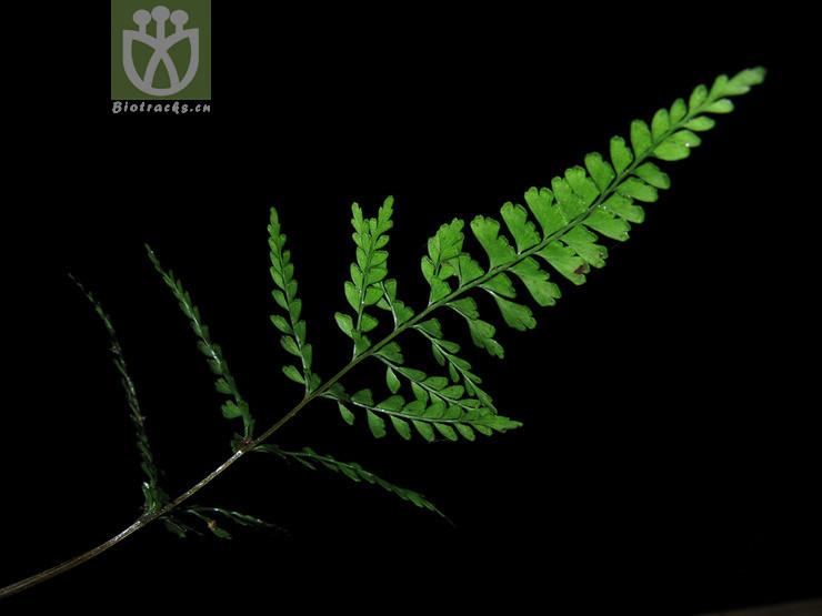 Lindsaea chienii