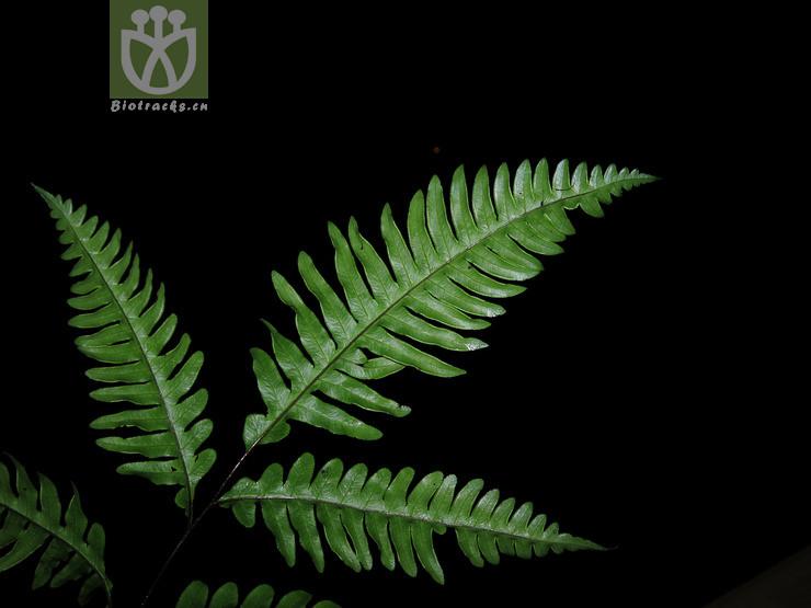 Pteris amoena