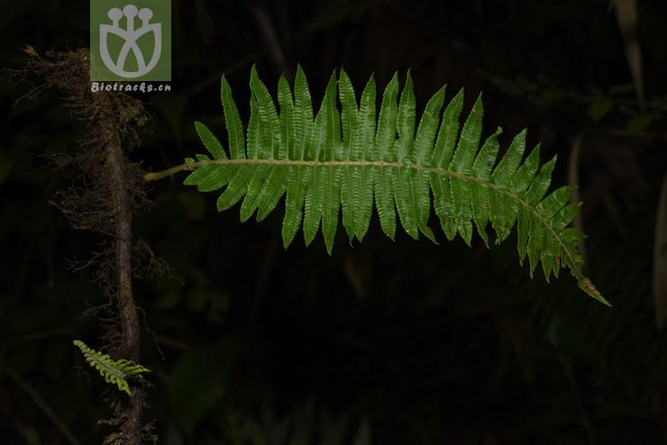 Cyclosorus aridus