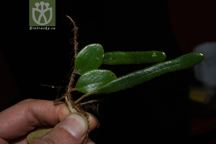 Pyrrosia nummulariifolia