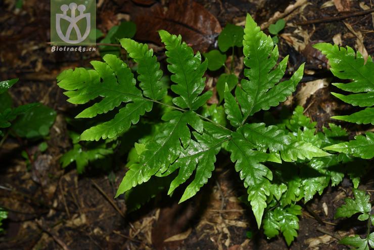 Tectaria griffithii