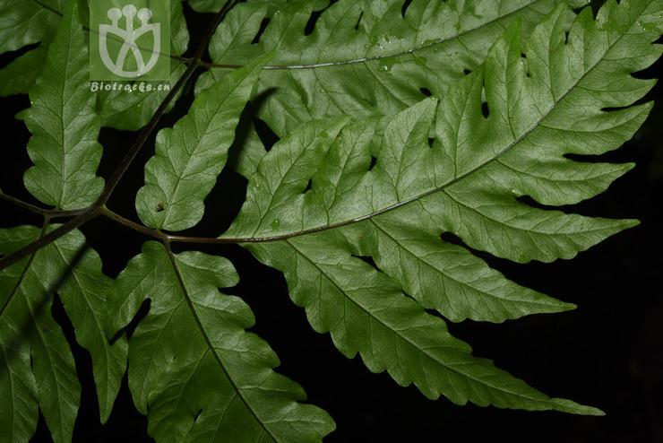 Sagenia griffithii