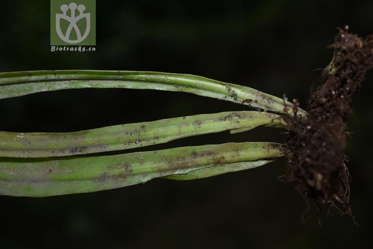 Polypodium irioides