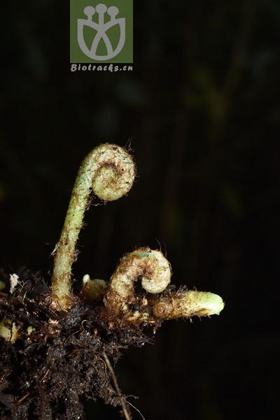 Neolepisorus ovatus