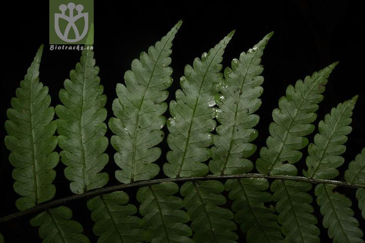 Bolbitis sinensis