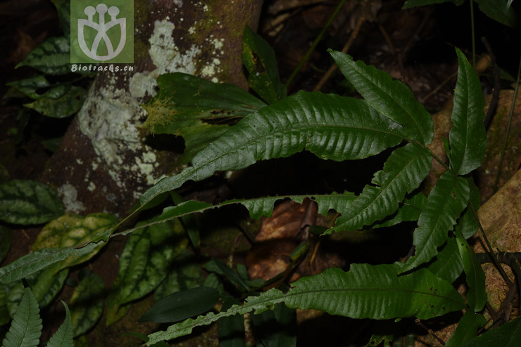 Acrostichum heteroclitum