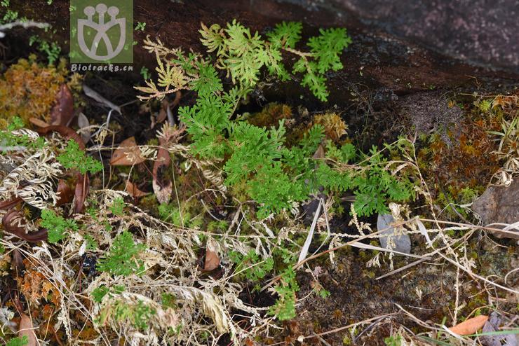 Selaginella siamensis