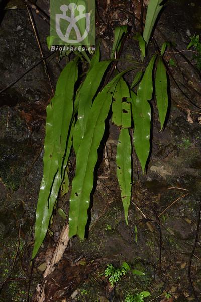 Polypodium lingulatum