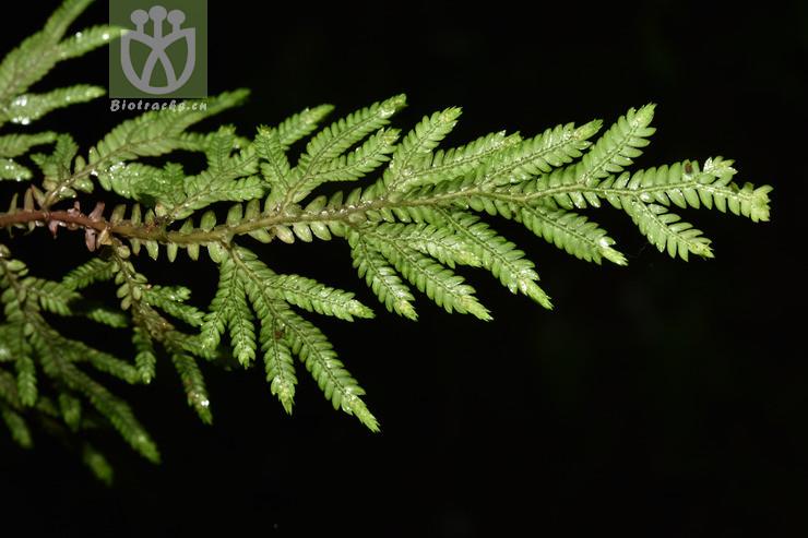 Selaginella helferi