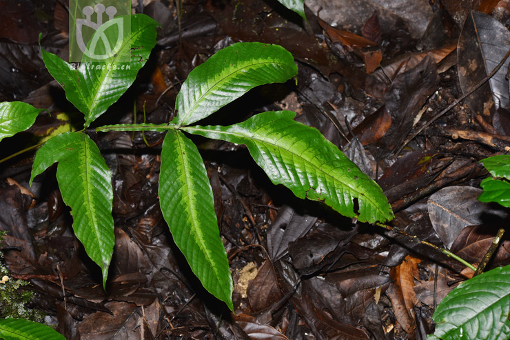 Tectaria polymorpha var. polymorpha