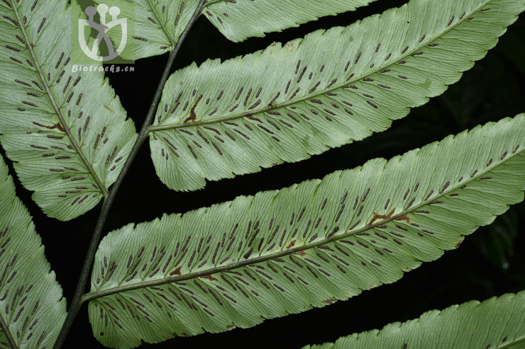 Diplazium megaphyllum