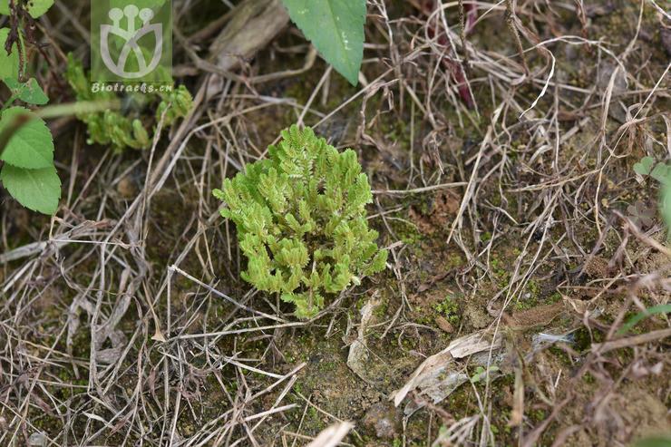 Selaginella ciliaris