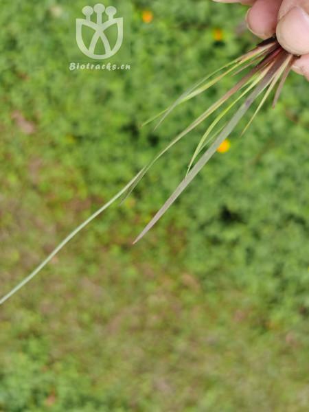 Xyris pauciflora