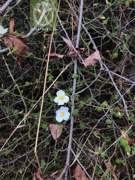 Daphne leptophylla