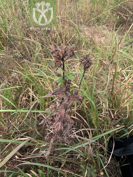 Hypericum ascyron subsp. ascyron