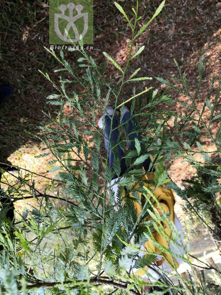 Podocarpus imbricatus