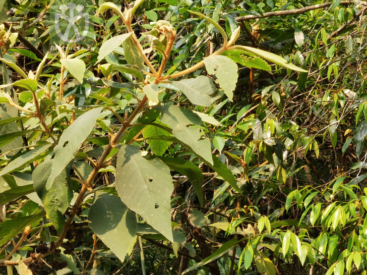 Scleria nankingensis