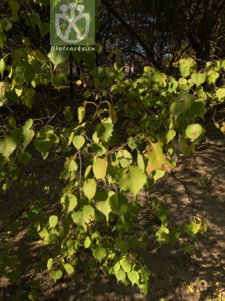 Prunus armeniaca var. sibirica