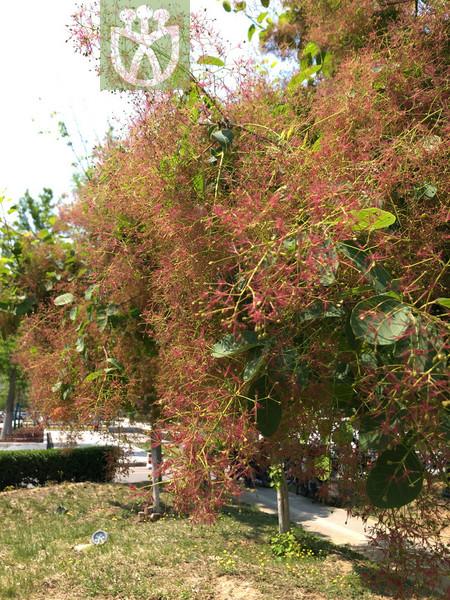 Cotinus cinereus
