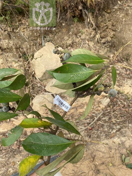 Lithocarpus sp.