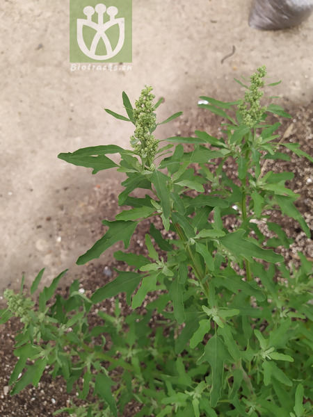 Chenopodium sp.