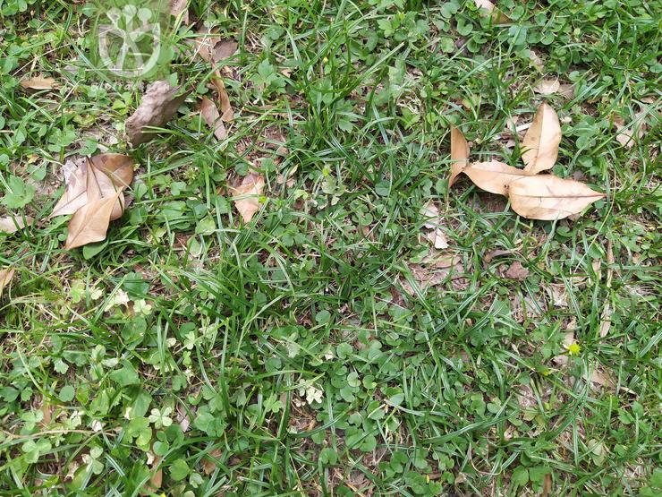Kyllinga brevifolia var. brevifolia