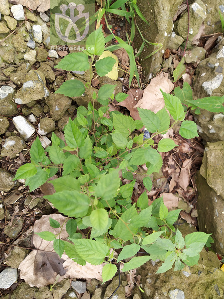 Fleurya glechomifolia