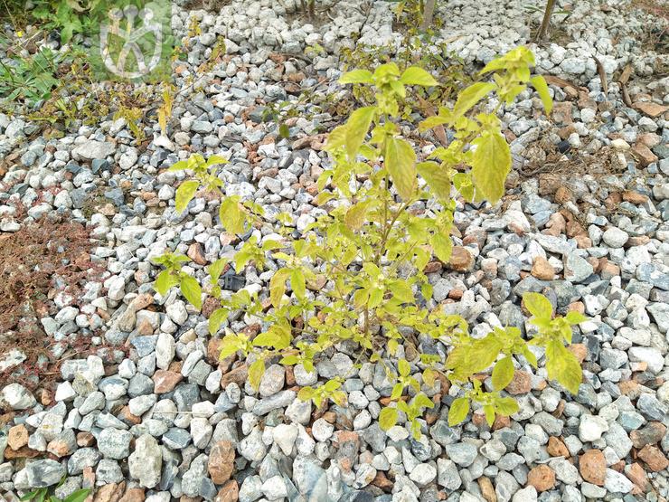 Acalypha australis